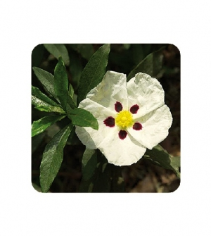 Aceite esencial jara cv Córcega
