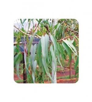 Aceite esencial eucalipto azul