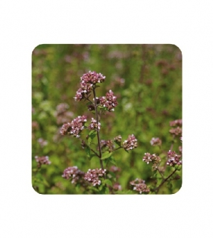 Aceite esencial oregano de inflorescencias compactas