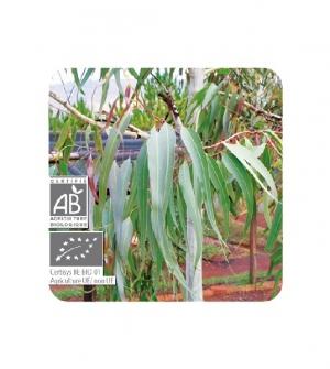 Aceite esencial Bio Eucalipto azul